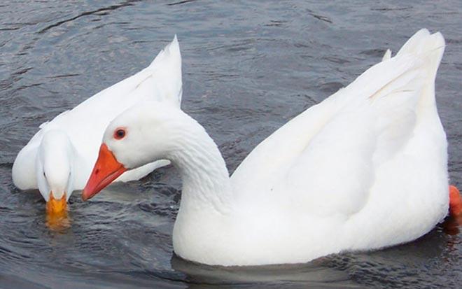 Два гуся итальянской белой пуховой породы плавают в воде