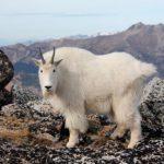 Кашемировая горная коза в горах