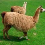 Ламы пасутся на лугу