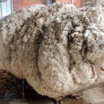 Овца меринос в загоне