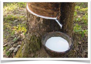 Сбор сока с дерева Гевея